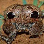 Ученые обнаружили лягушку с фальшивыми глазами в задней части